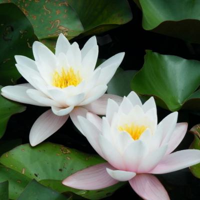 园林水体净化绿化植物 水生花卉 睡莲 观赏价值高 颜色多