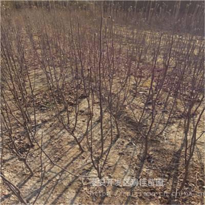 红富士苹果苗批发价格多少钱矮化中间砧红富士苹果苗批发价格多少钱