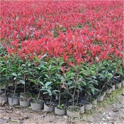 红叶石楠小苗哪里便宜 江苏红叶石楠营养钵小苗更便宜 100棵起批