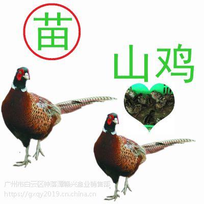 山鸡养殖基地,山鸡饲养的方法