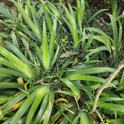 供应 鸢尾花蓝蝴蝶草种苗 园林绿化用的花卉苗木 基地批发