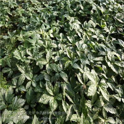 广元利州野三七如何种植 竹节参种子种苗哪里有 竹节参