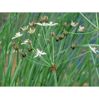 常年出售绿化水生地被花卉 水葱 野生花叶水葱