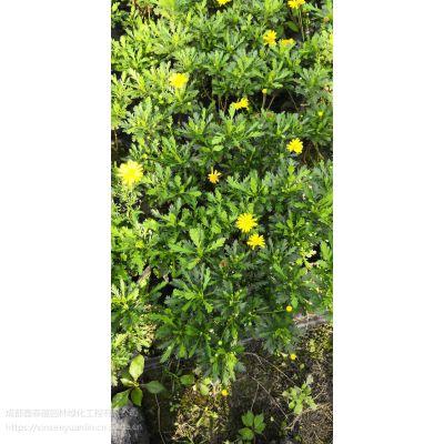 成都木春菊种植基地大量出售10杯到23杯的,数量保证,花色靓丽