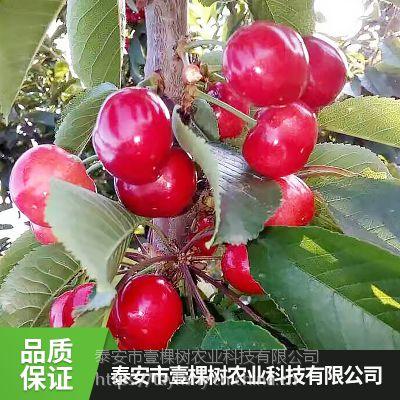 壹棵树拉宾斯车厘子种苗种植基地