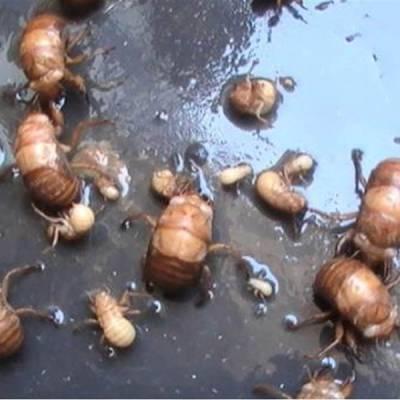 人工养殖金蝉技术-周口养殖金蝉技术-亿鸣金蝉服务好(查看)