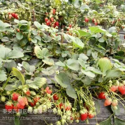 延安妙香七号草莓苗行情草莓苗丰产好