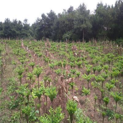 四川魔芋种子销售 毕节富滇魔芋公司邓总 德宏珠芽魔芋有几种 恩施魔芋种植基地