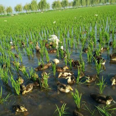 稻田共鸭种养结合双收益符合生态养殖政策