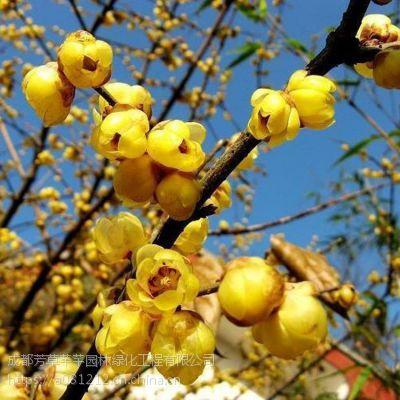全国大量批发腊梅,及其他草坪苗木等品种齐全