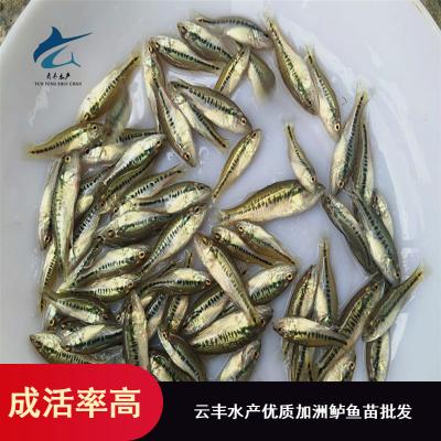 汕头现有大量高品质加洲鲈鱼苗 广东加洲鲈水花苗出售