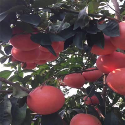 台州三公分带土红宝石葡萄柚苗大量采购价