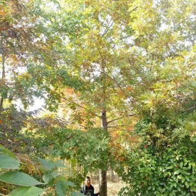 29公分娜塔栎价格-基地多少钱行情一棵