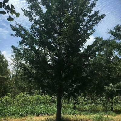 6公分的银杏树多少钱-丰硕银杏苗圃-银杏树多少钱