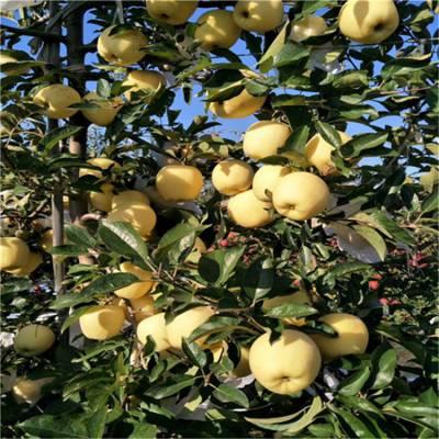 1米鲁丽苹果苗批发价格 一手货源鲁丽苹果苗 维纳斯黄金苹果苗批发价格