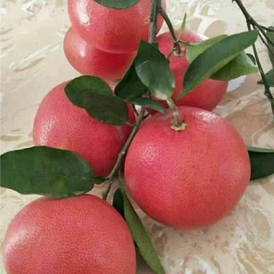 贵州葡萄柚苗木哪里买