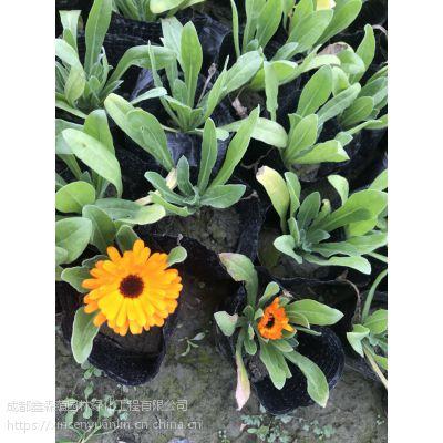 大量出售冬季花卉之金盏菊 花色的花朵 室外摆放 商场门口使用