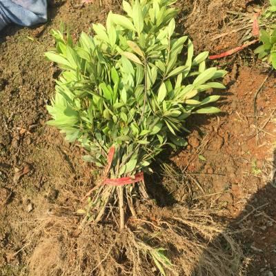 毛杜鹃球 江西萍乡楼盘小区绿化用的植物批发价格 怎么卖