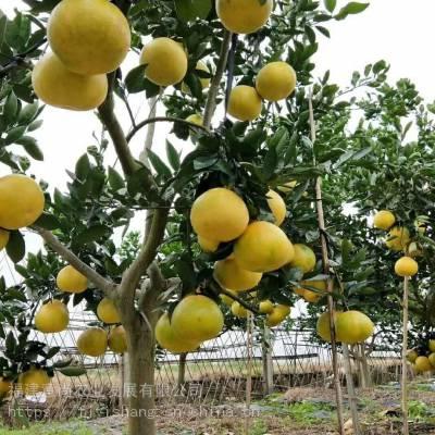 台湾甜葡萄柚苗价格 台湾甜葡萄柚苗基地 台湾甜葡萄柚苗哪里有?