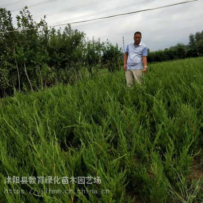 沭阳小龙柏绿篱30~60公分价格 龙柏球产地_高杆龙柏基地 工程绿化