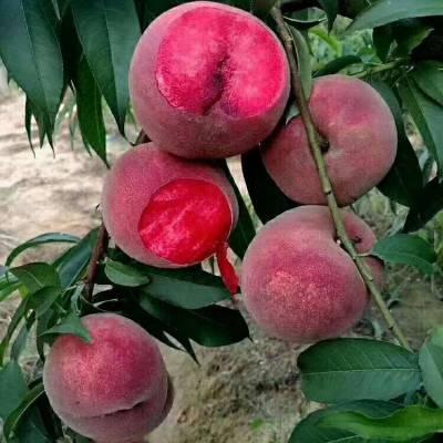 正一园艺桃树苗批发 中熟桃树苗