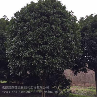 贵州大量出售高杆桂花基地 桂花工程苗价格100元