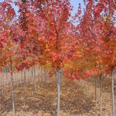 红枫树苗价格-同创园林-红枫