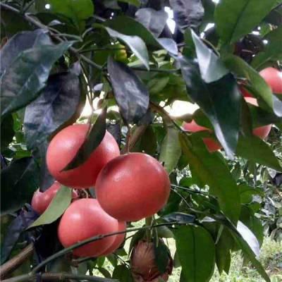 江西葡萄柚子苗哪里买