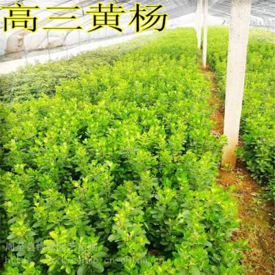 出售小叶黄杨 周至高三黄杨营养杯树苗批发 陕西绿森园艺苗圃