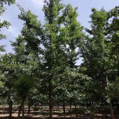 20公分白果树 18公分白果树 霖松苗木 15公分白果树价格