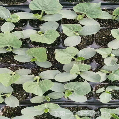 特早熟苹果苦瓜种子_台湾进口结果早苦瓜种子_一品新品种苦瓜种子种植基地