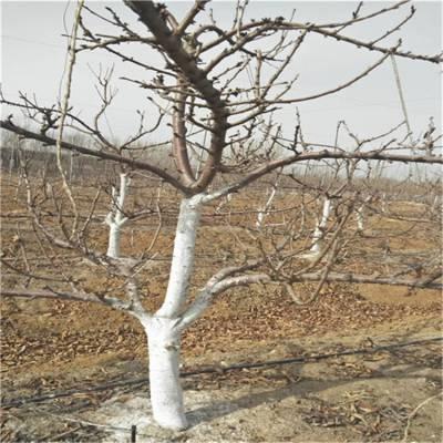 直销吉塞拉樱桃树苗 优质矮化樱桃苗 嫁接车厘子苗种植基地