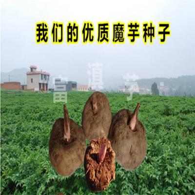 姚安魔芋种子 花魔芋种植技术 邵阳魔芋种苗