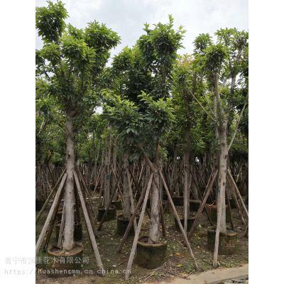 广东普宁华盛苗木供应胸径15公分大叶榕树