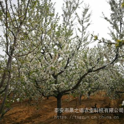 雷尼樱桃苗品种 雷尼樱桃苗种植管理