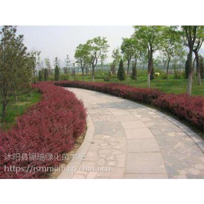 购买便宜红叶小檗树苗 就联系江苏红叶小檗基地供应商