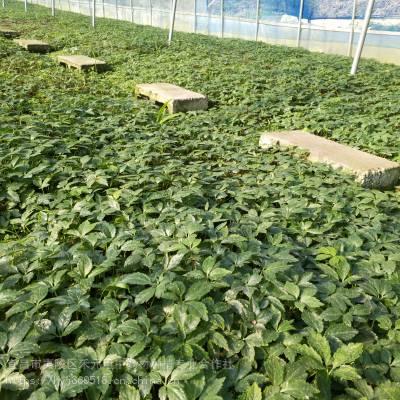 商洛柞水野三七种植技术 竹节参农村致富赚钱 竹节参栽培