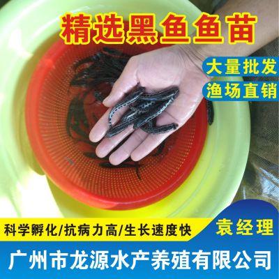 全国批发黑鱼苗种、黑鱼苗报价、广东龙源养殖基地黑鱼种苗价格