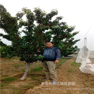 乌克兰樱桃苗哪里便宜 五公分矮化乌克兰樱桃苗哪里便宜