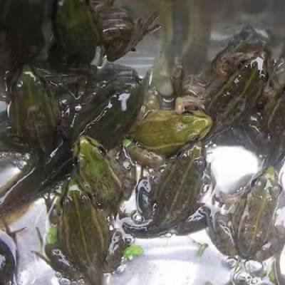学习黑斑蛙养殖-乐山黑斑蛙-半亩田生态公司(查看)