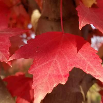 浩轩苗木(图)-美国红枫价格-宿州红枫价格
