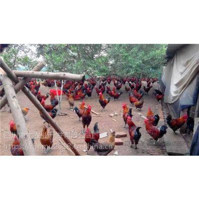 陕西延安养殖红玉土鸡孵化厂哪家好,优质鸡苗,可空运发货,价格从优