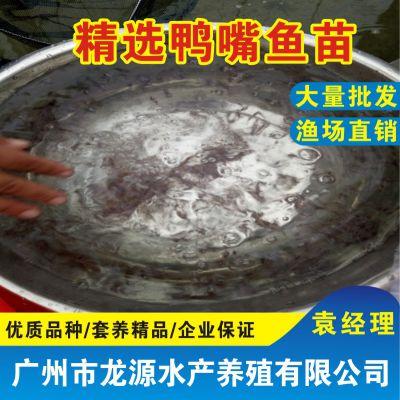 广东龙源全国供应鸭嘴鲟鱼苗匙吻鲟鱼苗
