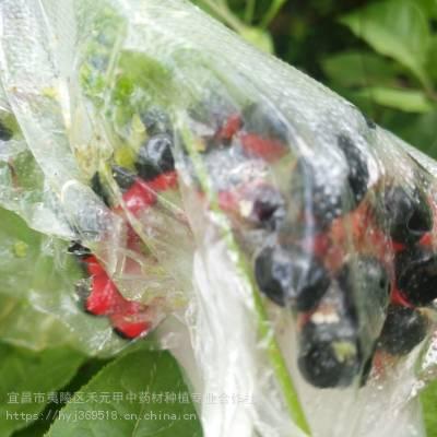 浙江杭州江干竹节参产区野三七亩产多少怎么繁育繁殖