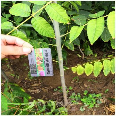 山西香椿树苗常年出售 山西香椿树苗价格 优质品种正宗红油香椿