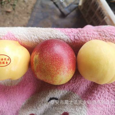 华山梨树图片、华山梨树品种有多少价格