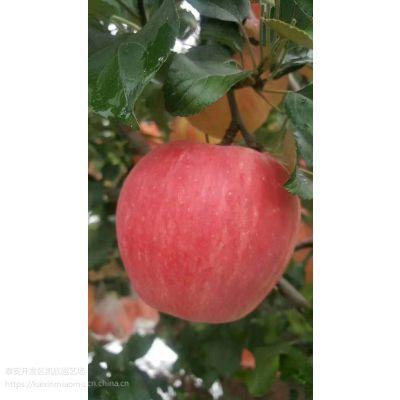七月红苹果苗2019年多少钱 矮化七月红苹果苗特点