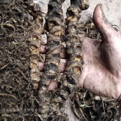 禾元甲福建福州竹节参新闻报道 野三七种植什么药材