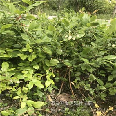 南陆蓝莓苗批发基地 地栽三年的南陆蓝莓苗批发基地