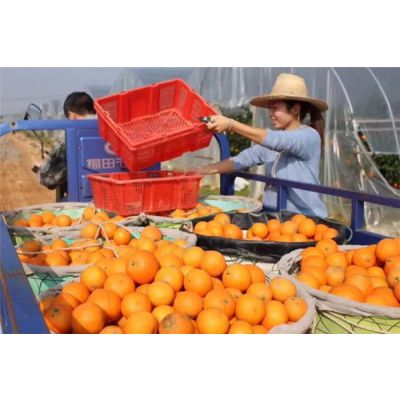 现摘现发果冻橙-果冻橙种植-润昌果业(优质商家)